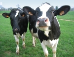5_Vaches